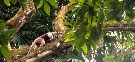 anteater-costa-rica-jungle-osa-peninsula-corcovado-1080x498
