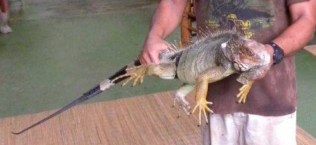 iguana-reptile-tours-costa-rica