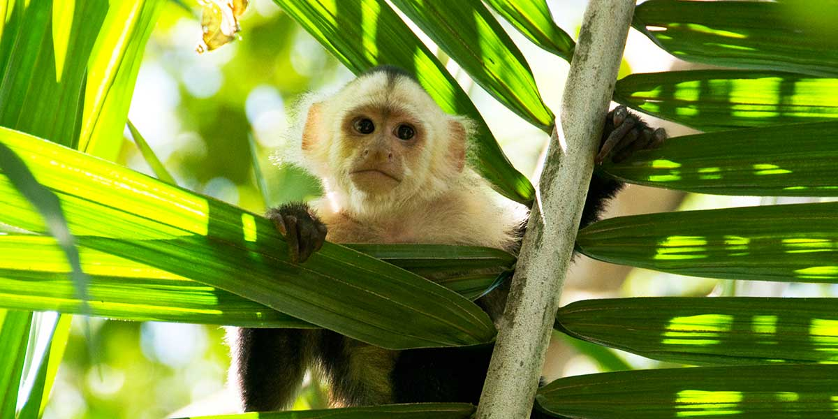 Close up of White faced monkey in palm