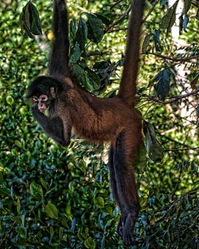Spider monkey hanging from tree on the Osa Peninsula, Costa Rica