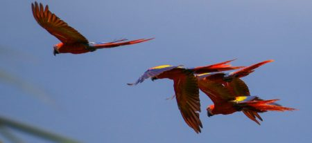 Group of Scarlet Macaws flying. Osa Peninsula, Costa Rica