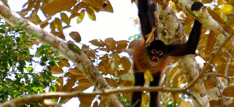 Spider Monkey calling out, Osa Peninsula, Costa Rica